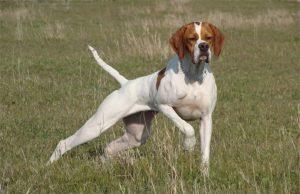 Pointer - Cane da caccia